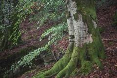 Aukraskogen -