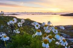 Juvika - Blomstrer