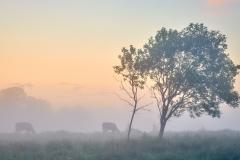 Oterhalsen- Kjyr i sommartåke