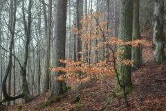 Ensomt tre -Aukraskogen