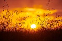 Solem - Gras i solnedgang