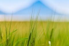 Kornmark ved Sylte  i Frena